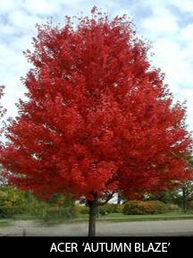 Autumn Blaze Maple Trees for Sale
