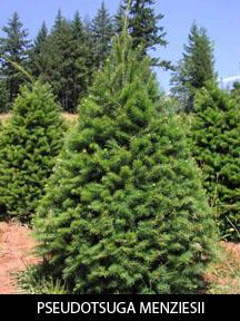 Douglass Fir Trees For Sale