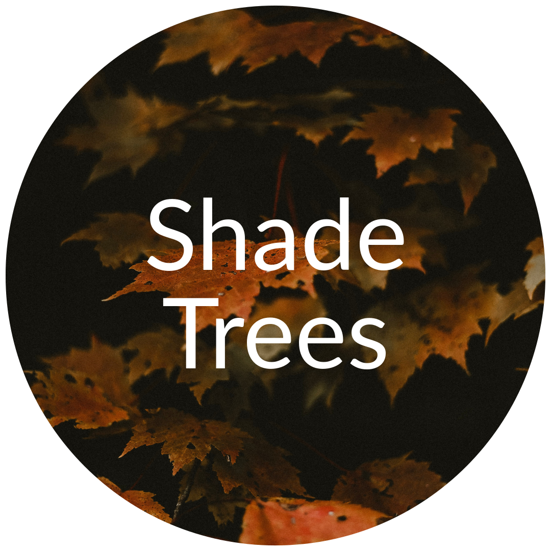 Shade Trees for Sale