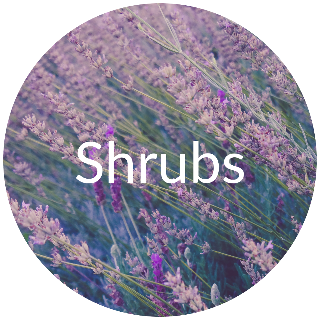 Shrubs for Sale