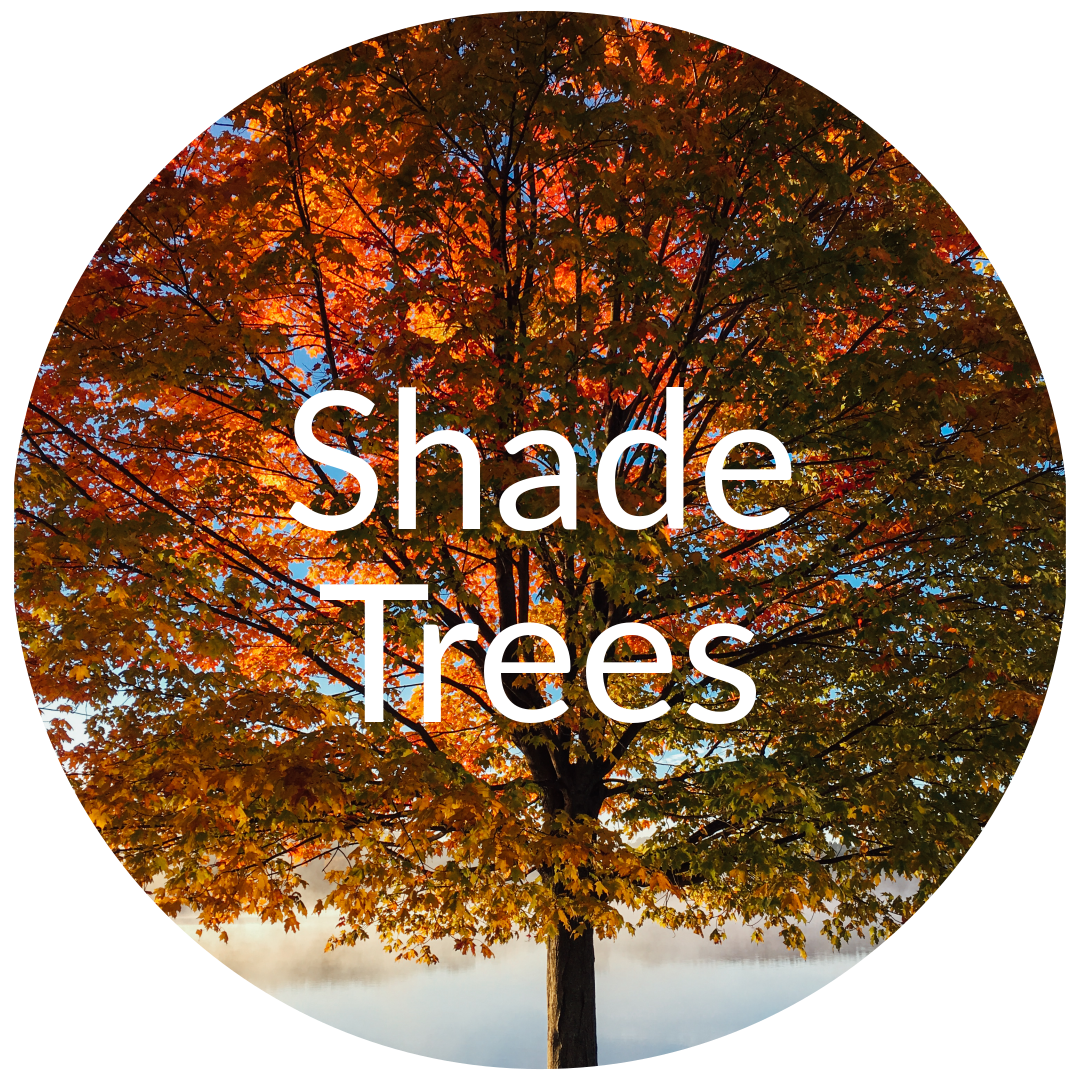 Big Trees For Sale Co Evergreen Shade Ornamental Amp Shrubs