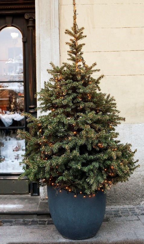 Potted Christmas Trees for Sale