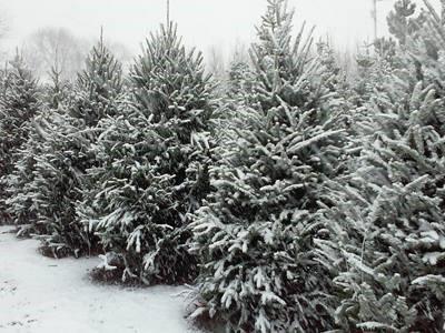 Fresh Cut Christmas Trees